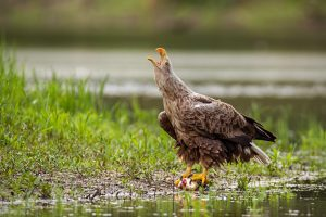 Majestic white-tailed eagle, haliaeetus albicilla, adult bird calling with beak open on a riverbank in summer nature. Fierce bird of prey screeching near water sitting on a fish with copy space.